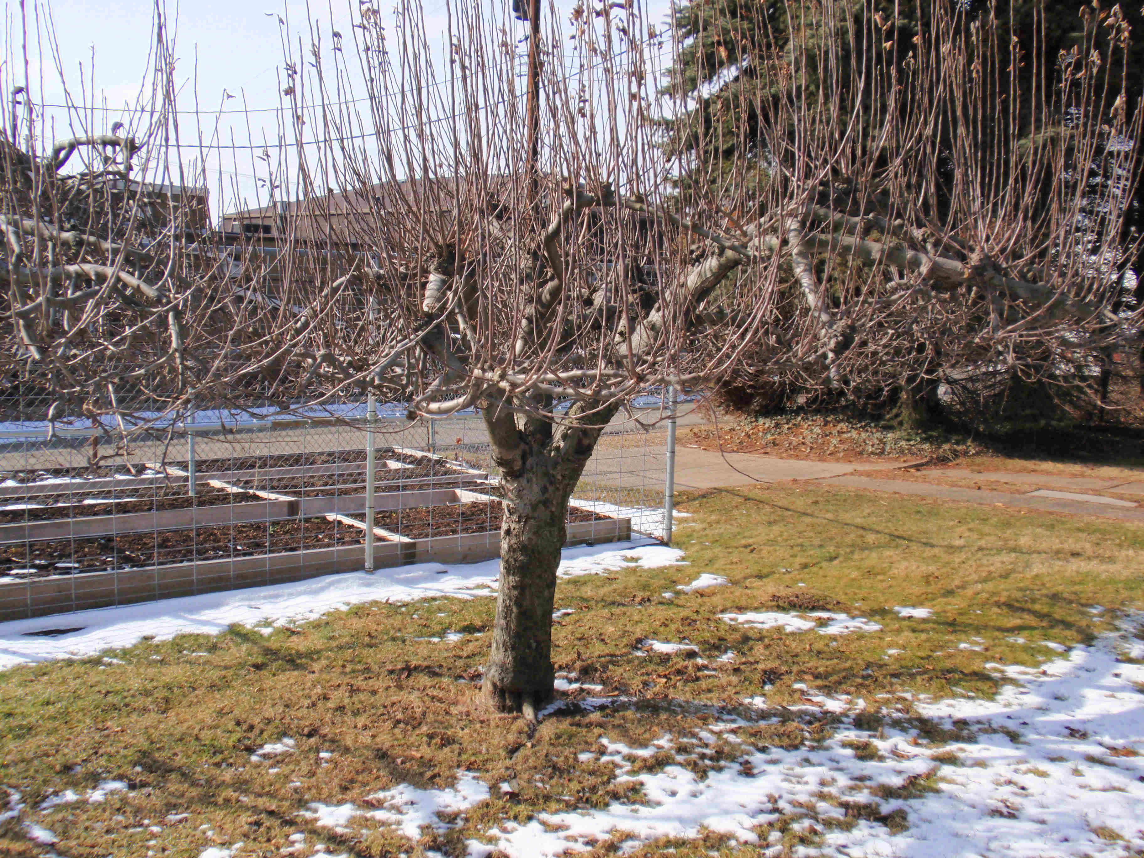 Today i started a hard prune on the apple trees john 39 s garden journal - Spring trimming orchard trees healthy ...